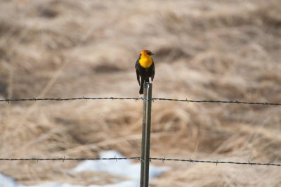 A yellow-headed blackbird (Xanthocephalus xanthocephalus) in the Nebraska Sandhills.