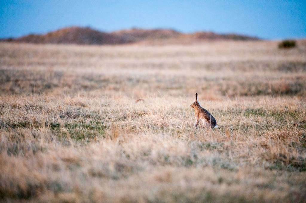 Picture of a white-tailed jackrabbit (Lepus townsendii) on a ranch in the Nebraska Sandhills.