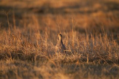 Photo: A sharp-tailed grouse (Tympanuchus phasianellus) on a ranch in the Nebraska Sandhills.