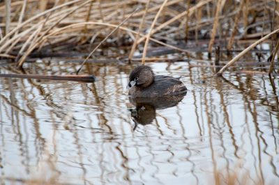 Photo: A pied-billed grebe (Podilymbus podiceps) on a ranch in the Nebraska Sandhills.