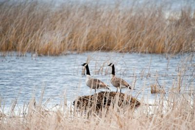 Photo: Canada geese (Branta canadensis) on Goose Lake at Crescent Lake National Wildife Refuge in Nebraska.