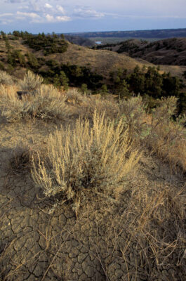Photo: Sagebrush at the Upper Missouri River Breaks in Charles M. Russell NWR, Montana.