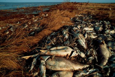 Photo: After Hurricane Andrew, thousands of fish lie dead along a barrier island off the coast of Central Louisiana.