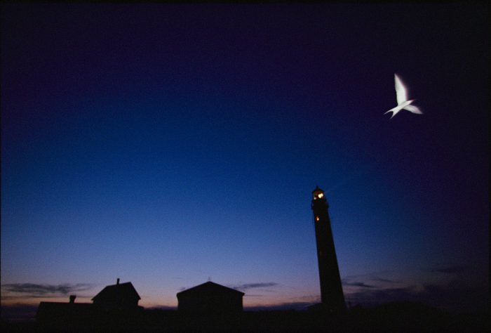 Photo: A tern flies near a lighthouse on Petit Manan National Wildlife Refuge, where thousands of shore and sea birds nest each year.