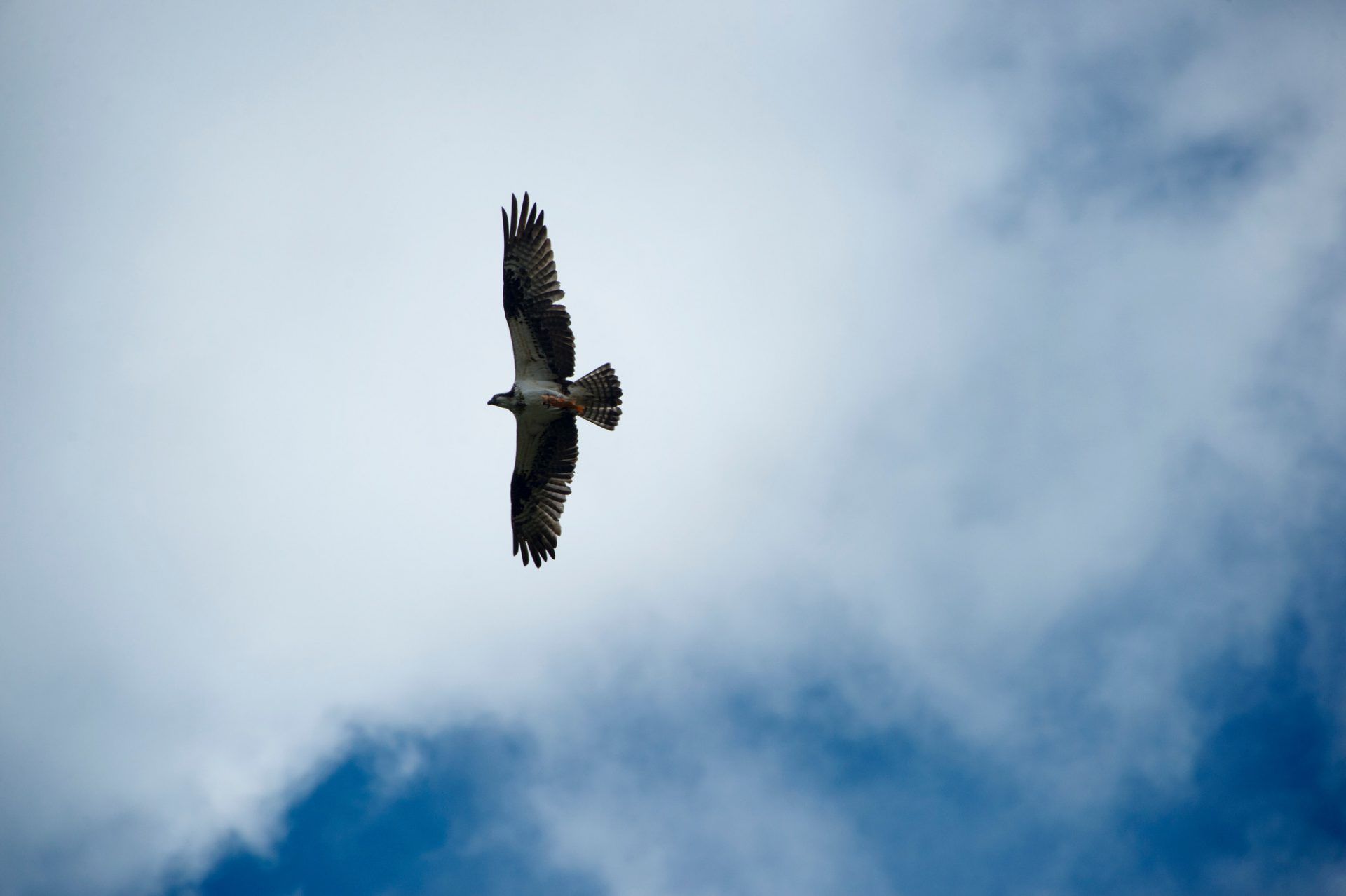 Photo: A hawk soars overhead at Parque Jaime Duque in Colombia.