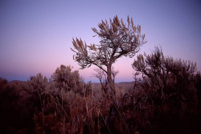 Photo: Sagebrush in a BLM area along Highway 93, near Wells, Nevada.