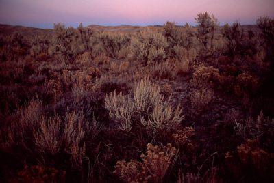 Photo: Sagebrush in a BLM area along Highway 93, near Wells, Nevada.