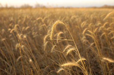 Photo: A field of rye near Walton, Nebraska.