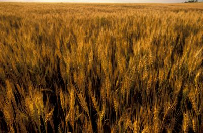 Photo: Wheat ready for harvest on the Fenton farm near Greenleaf, Kansas.