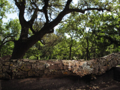Photo: Live oaks at the Brown Ranch near Christoval, Texas.