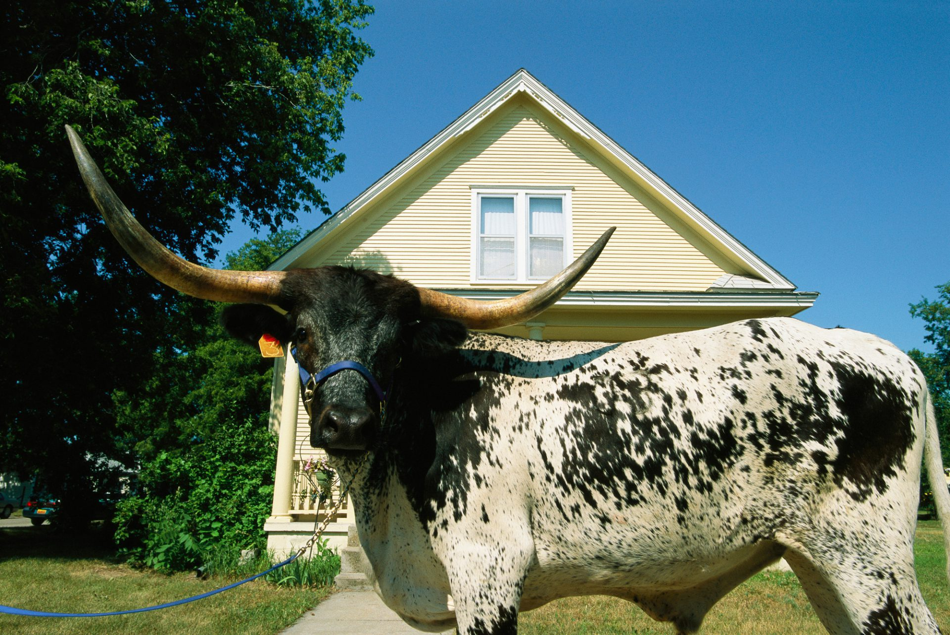 Photo: A longhorn bull poses in front of a house with yellow siding.
