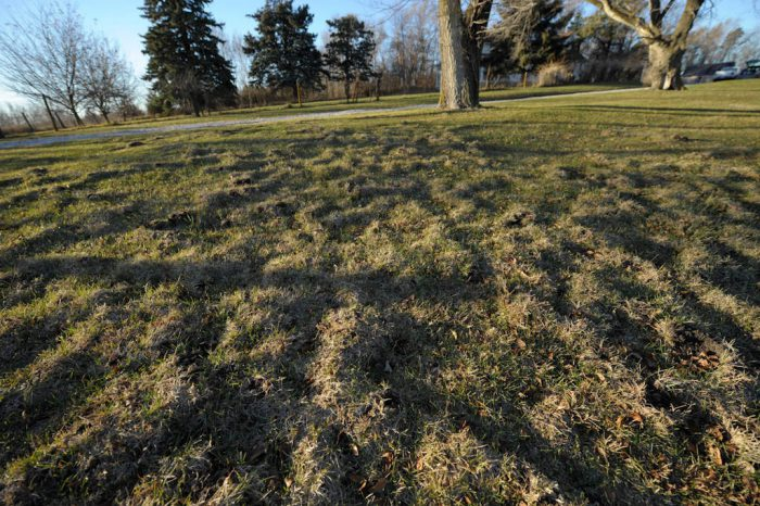 Photo: Mole tunnels in the lawn at Waveland farm, Nebraska.