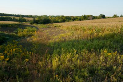 Photo: Wild flowers grow along the fringes of a cornfield in Nebraska.
