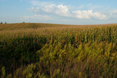 Photo: A corn field near Ceresco, Nebraska.