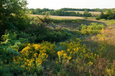 Photo: Wild goldenrod grows amongst the cornfields of Nebraska.