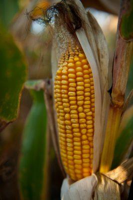 Photo: A stalk of corn in Nebraska.
