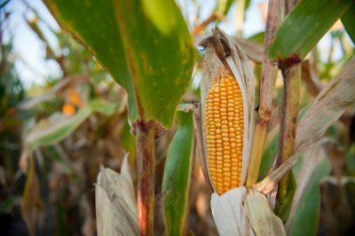 Photo: A stalk of corn growing in a field in Nebraska.