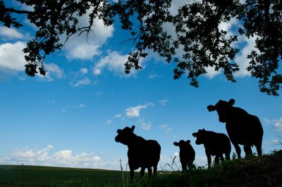 Photo: Cows stand silhouetted against a blue summer sky near Dunbar, Nebraska.