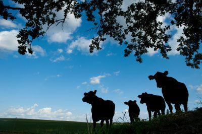 Photo: Cows stand silhouetted against a blue summer sky near Dunbar, Nebraska.