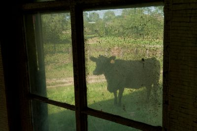 Photo: A cow stands outside of an abandoned house near Dunbar, Nebraska.