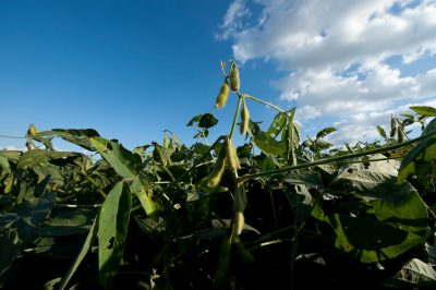 Photo: Soybeans in a field near Dunbar, Nebraska.