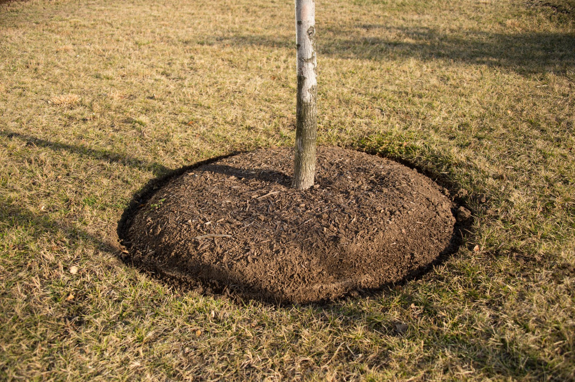 Photo: Mulch rings on a tree in an office park in Chantilly, Virginia.