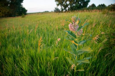 Photo: Milkweed in a pasture at a farm near Bennet, Nebraska.