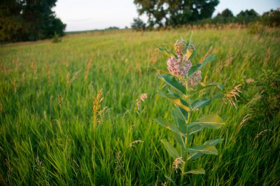 Photo: Milkweed in a pasture at a farm near Bennet, Nebraska.