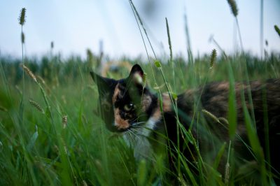 Photo: A calico cat slinks through the tall grass.