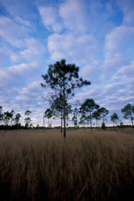 Photo: Scenic of the unique Lake Wales Ridge ecosystem at Archbold Biological Research Station in central Florida.