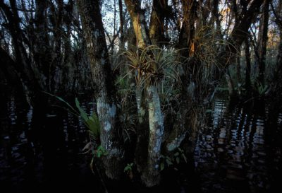 Photo: A night-scented orchid, a rare green plant, grows above the marsh in Florida Panther National Wildlife Refuge in Florida.