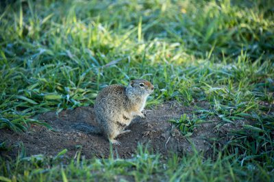 Photo: Uinta ground squirrel near Grand Teton National Park, Wyoming.