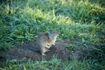 Photo: Uinta ground squirrel near Grand Teton National Park, Wyoming.