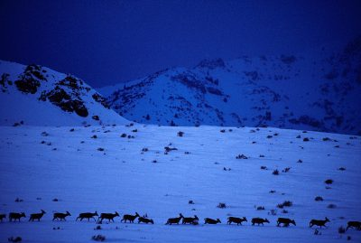 Photo: A herd of elk moves along a mountain base line at twilight.