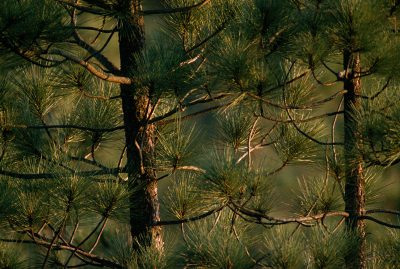 Photo: Detail of pine trees in the Black Hills of South Dakota.