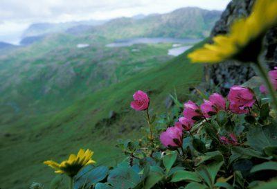 Photo: Wildflowers on Mount Reed on Adak Island in Alaska.
