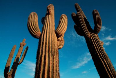 Photo: Saguaro cactus at Cabeza Prieta NWR, Arizona.