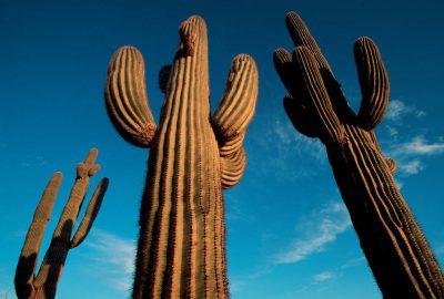 Photo: Saguaro cactus at Cabeza Prieta NWR, Arizona.