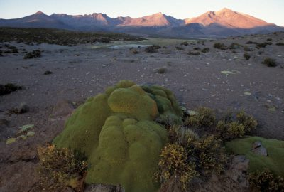 Photo: The llareta bush in Chile's Atacama Desert is so dense and almost coral-like that one can stand on it. It survives on very little water in the driest place on earth.