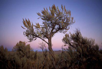 Photo: Sagebrush in a BLM area near Wells, Nevada.
