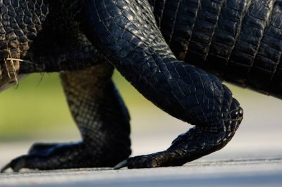 Photo: A close-up of an alligator's legs in Shark Valley at the north end of Everglades National Park.
