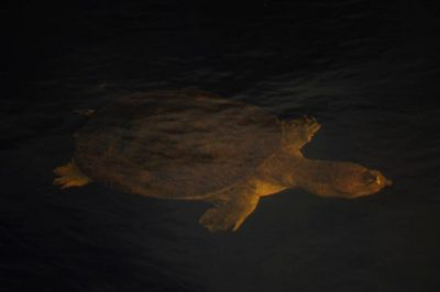 Photo: A florida softshell turtle (Apalone ferox) swims in the water in Shark Valley at the north end of Everglades National Park.
