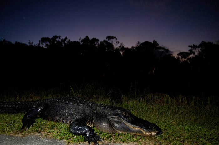 Picture of a federally endangered, American alligator (Alligator mississippiensis) in Shark Valley at the north end of Everglades National Park.