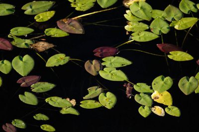 Photo: Leaves float in the water at Shark Valley at the north end of Everglades National Park.