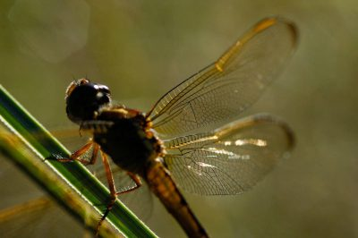 Photo: A dragonfly along Loop Road in Big Cypress National Preserve along the edge of Everglades National Park.