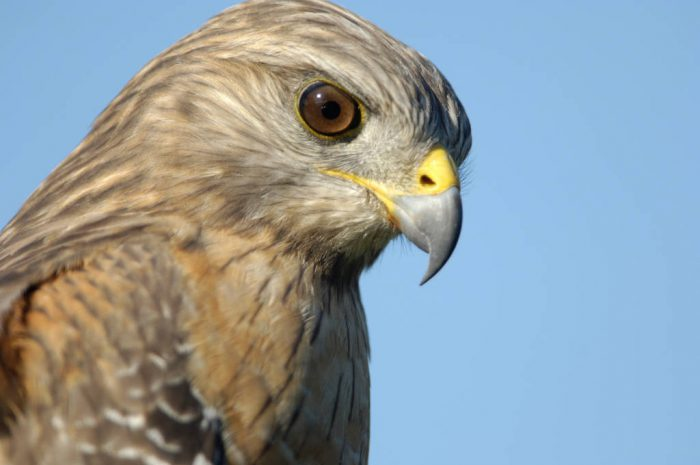 A red-shouldered hawk (Buteo lineatus) in Everglades National Park.