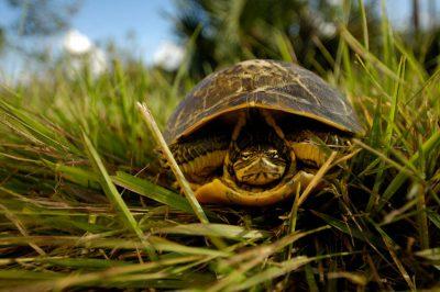 A Florida chicken turtle (Deirochelys reticularia chrysea) in Everglades National Park.