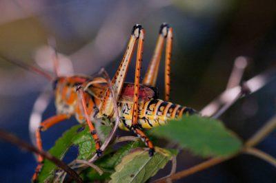Photo: A bright orange lubber grasshopper (Brachystola magna) in Everglades National Park, Florida.