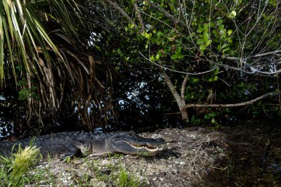 Picture of a federally endangered, American alligator (Alligator mississippiensis) resting by a tree at the Royal Palm rest area found in Everglades National Park, Florida.