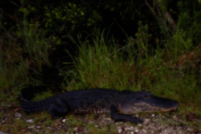 Photo: An alligator in Shark Valley at the north end of Everglades National Park.